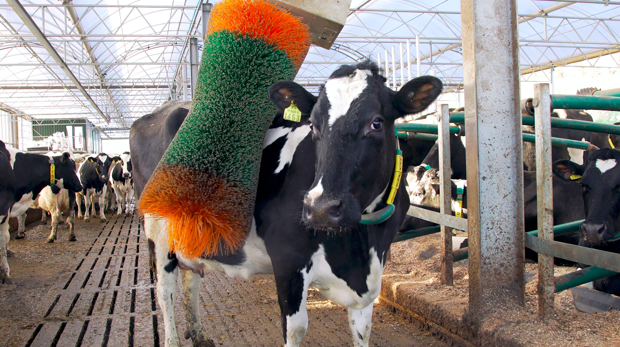 Connected cow